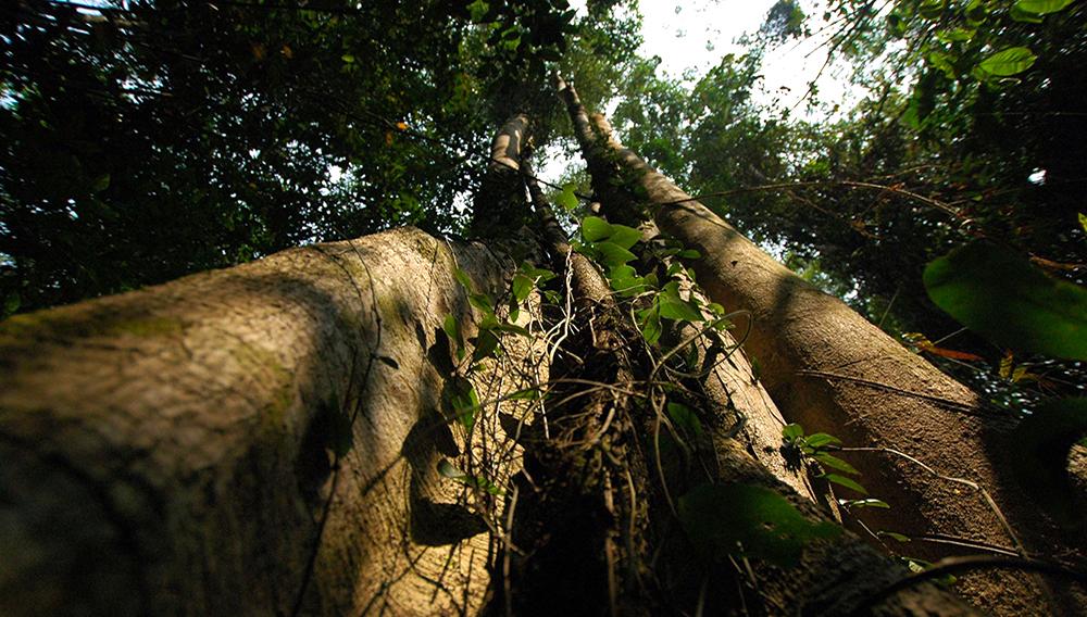 Árboles de gran altura en un bosque virgen, vistos desde abajo - Photo: Elisabeth Brinch Sand