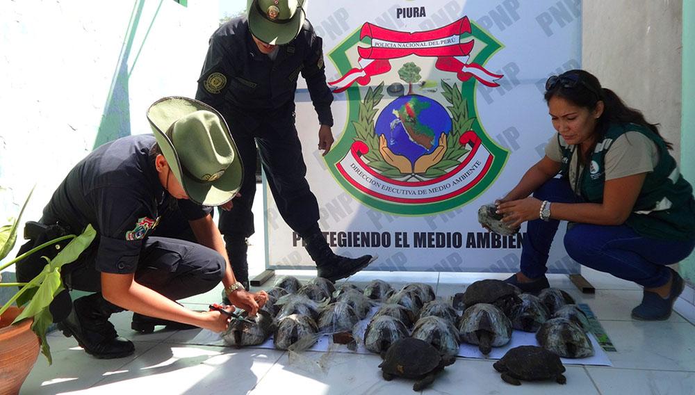 Policías ambientales de Piura, Perú, rescatan tortugas gigantes de las islas Galápagos que fueron ingresadas al país de forma ilegal.