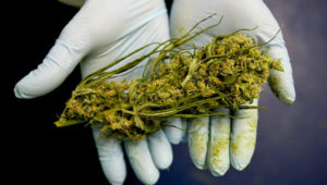 Cannabis medicinal.