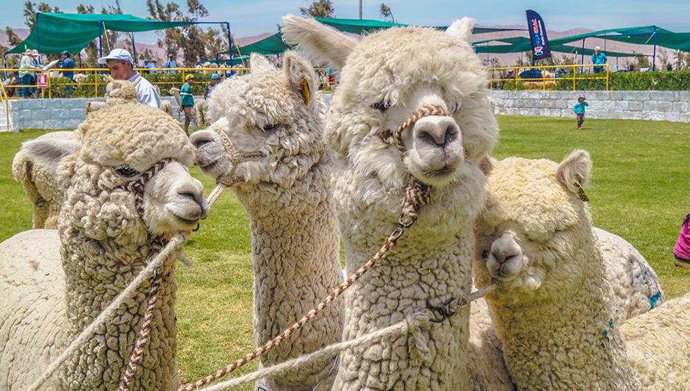 Productores de Arequipa y Puno participan en Alpaca Fiesta 2018. Foto: Minagri