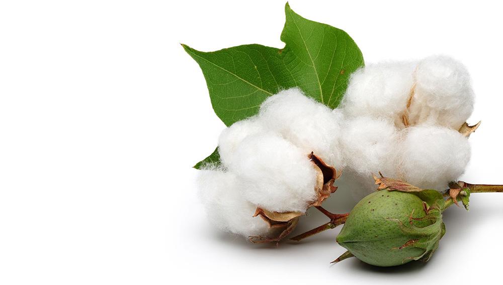 Cotton plant.