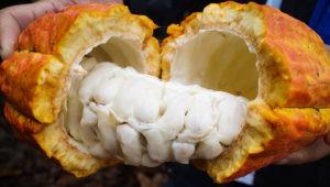 Cacao criollo de Piura. Foto: Agroideas