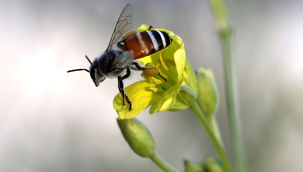 epa04520930 An Asian honey bee collects nectar and pollinates a flower on a balcony roof-top in a built up urban area of the Thai capital, the yellow-colored pollen sacs are seen on the rear leg, in Bangkok, Thailand, 09 December 2014. EPA/BARBARA WALTON