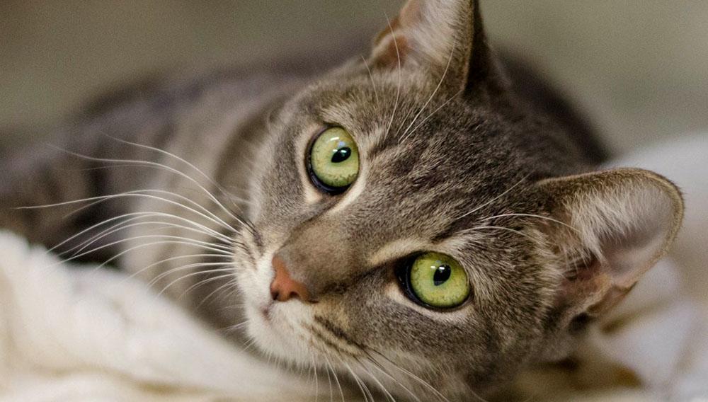 Un gato mirando a un lado de la cámara, recostado.