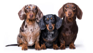Dachshunds were first bred in Germany during the 17th century to help locals hunt badgers. Photo by Liliya Kulianionak/Shutterstock
