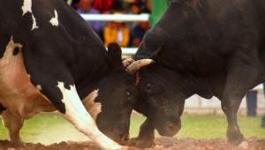 El Tribunal Constitucional de Perú analiza la tradición de la pelea de toros. EFE/Julio Angulo