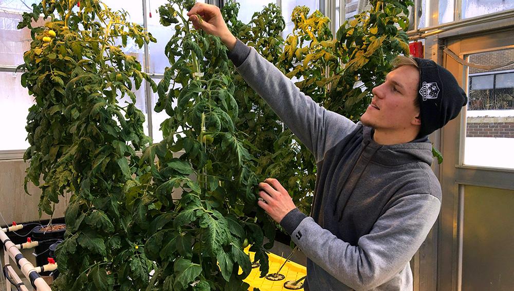 En esta fotografía del 14 de febrero de 2019, Colton Welch, estudiante de la Universidad Estatal de Nueva York en Morrisville, Nueva York, cuida una planta hidropónica de tomate que dará datos aplicables al cultivo de cannabis a los estudiantes. (AP Foto/Marry Esch)