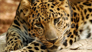 Amur Leopards are critically endangered. Found from the Amur River basin, the mountains of north-eastern China and the Korean peninsula have pale, cream-colored coats, particularly in winter.