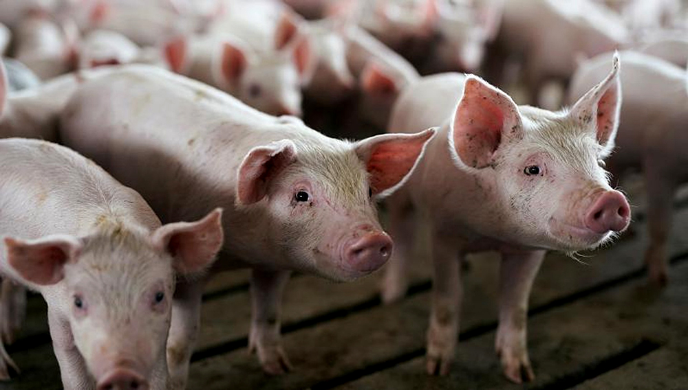 Young pigs in a pen at a hog farm in Ryan.   Reuters/Ben Brewer