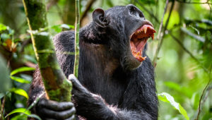 Some communities in Uganda live in fear of chimpanzees. Credit: GETTY - CONTRIBUTOR