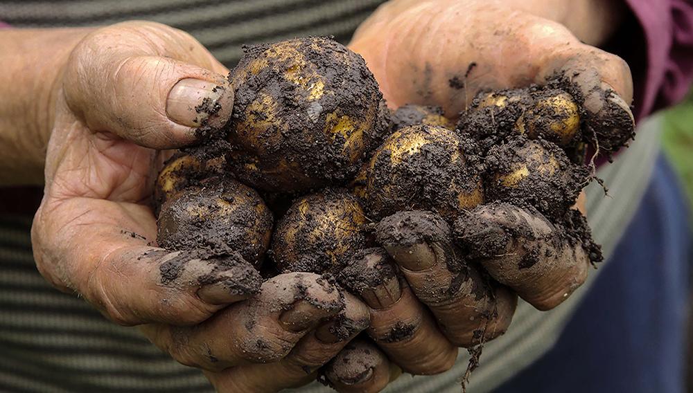 Potato farming. Photo: Fontagro