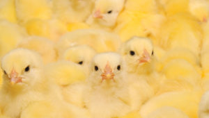 Gran grupo de pollitos recién nacidos en una granja de pollos. Foto: Tsekhmister/Depositphotos