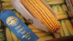 Corn is displayed for judging at the Cedar County Fair in Tipton, Iowa, July 13, 2018. Farmers in Iowa and the rest of the country, who are already faced with decade-low profits, are bracing for the impact a trade war with China may have on their bottom line going forward. Photo: Scott Olson/Getty Images