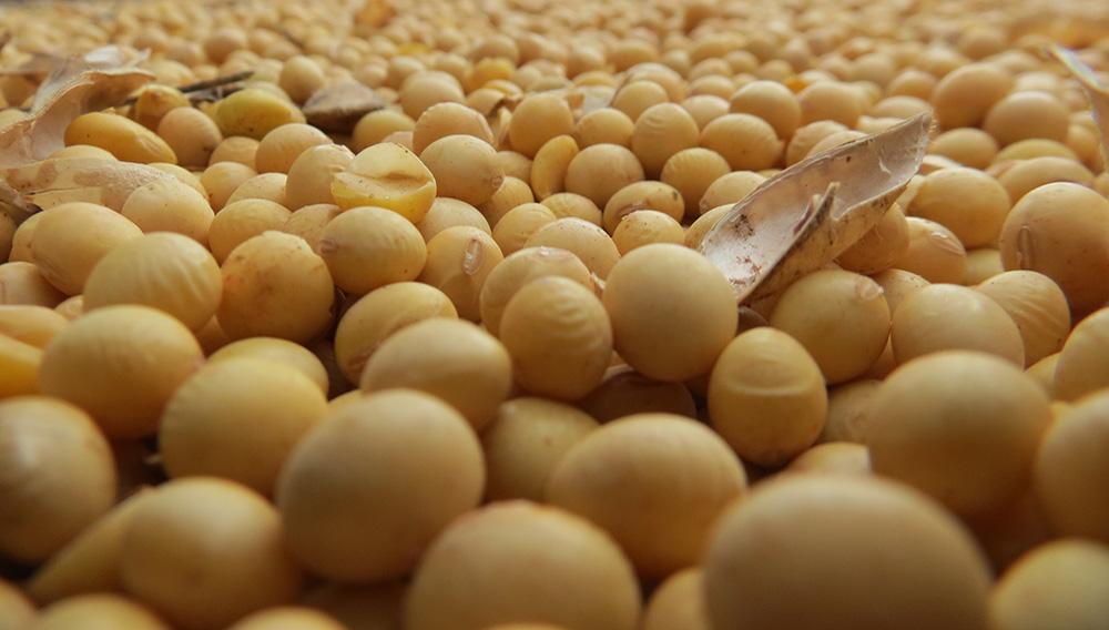 La soja es una legumbre muy consumida en todo el mundo. | Foto: Internet