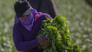 Immigrant farm workers harvest spinach field as US President Donald Trump takes steps to drastically increase deportations on February 24, 2017 near Coachella, California. / AFP / DAVID MCNEW (Photo credit should read DAVID MCNEW/AFP via Getty Images)