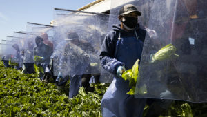 GREENFIELD, CA - April 28, 2020: H-2A farm laborers harvest romaine lettuce on a machine with heavy duty plastic dividers that separate workers from each other while harvesting. This is an experiemental idea designed to maximize labor safety during this Covid-19 period. (Photo by Brent Stirton/Getty Images)