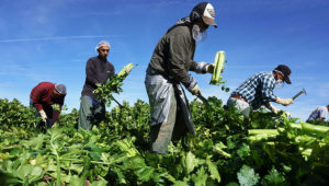 Mexican farm workers harvest celery in a field of Brawley, California, in the Imperial Valley, on January 31, 2017. Photo: SANDY HUFFAKER/AFP/Getty Images