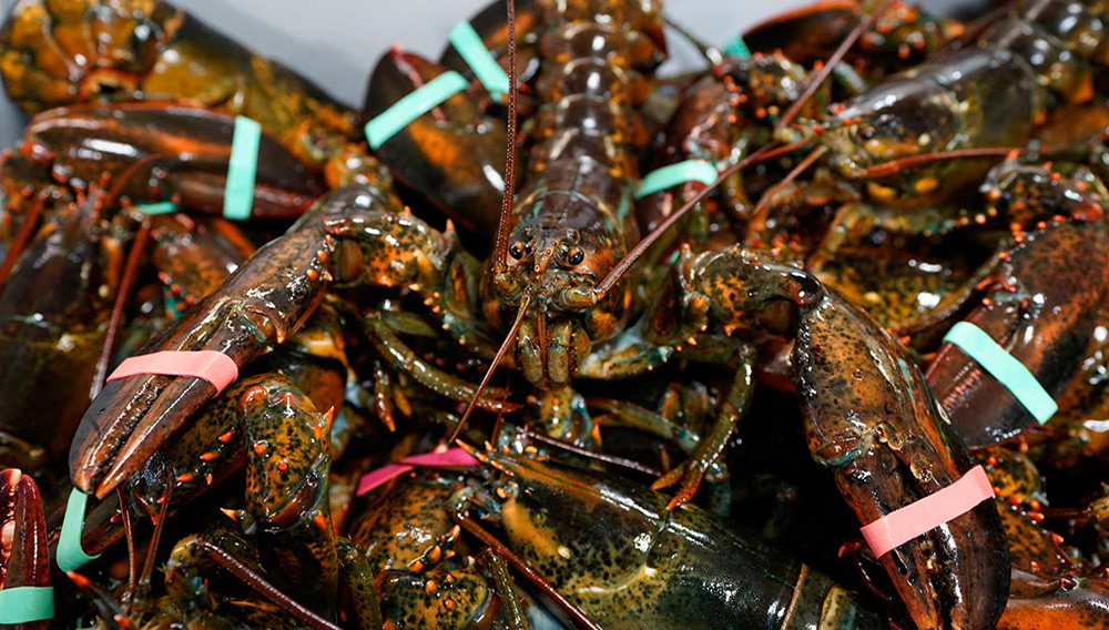 In this Wednesday, November 18, 2020, photo, lobsters sit in a crate at a shipping facility in Arundel, Maine. Dealers who sell lobsters to other countries are hopeful they will be able to do so without punitive tariffs under Democratic President-elect Joe Biden. (AP Photo/Robert F. Bukaty)