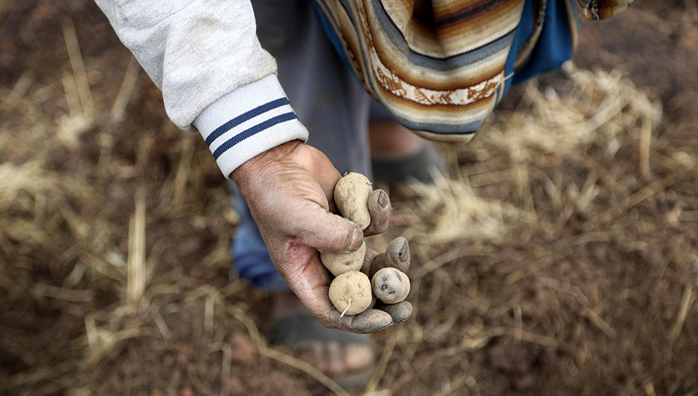 Farmer Ciriaco Huaman shows a handful of his potatoes in Pisac, southern rural Peru, Friday, Oct. 30, 2020. Farmers like Huaman are responsible for the food that lands on 70% of Peruvian dinner tables, officials say. (AP Photo/Martin Mejia)
