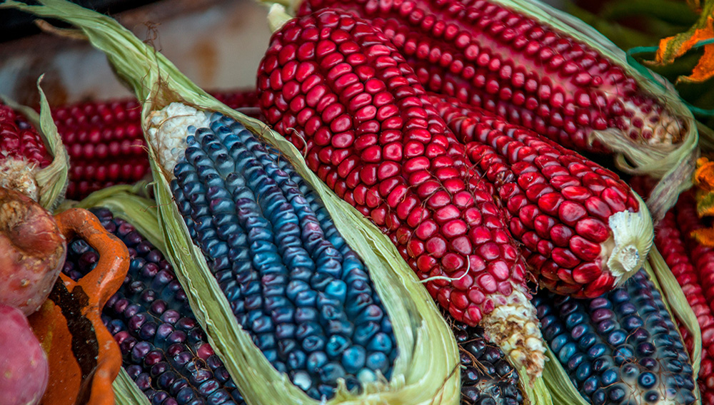 Colorful Corn maize from central Mexico.   Credit: Getty Images